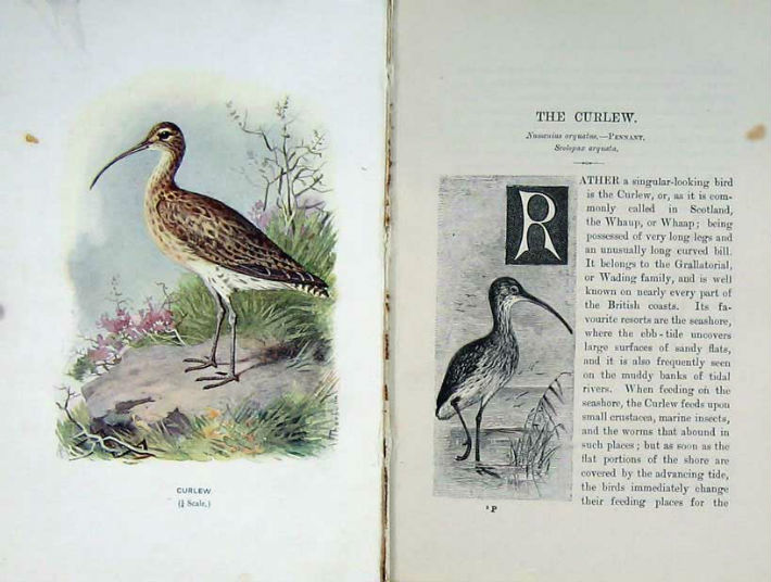 Whaup or the Curlew